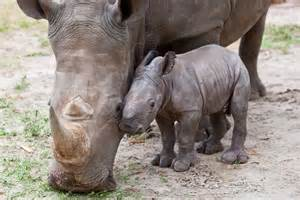 baby-and-mother-rhino